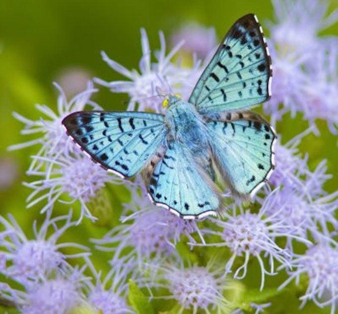 Blue metalmark butterfly nectaring