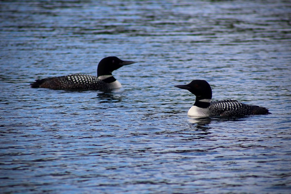 common loons in Minnesota