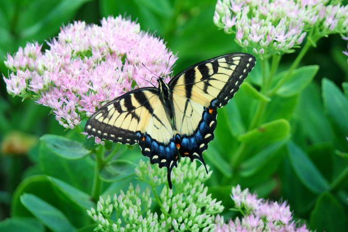 An eastern tiger swallowtail butterfly lands on a sedum bush.