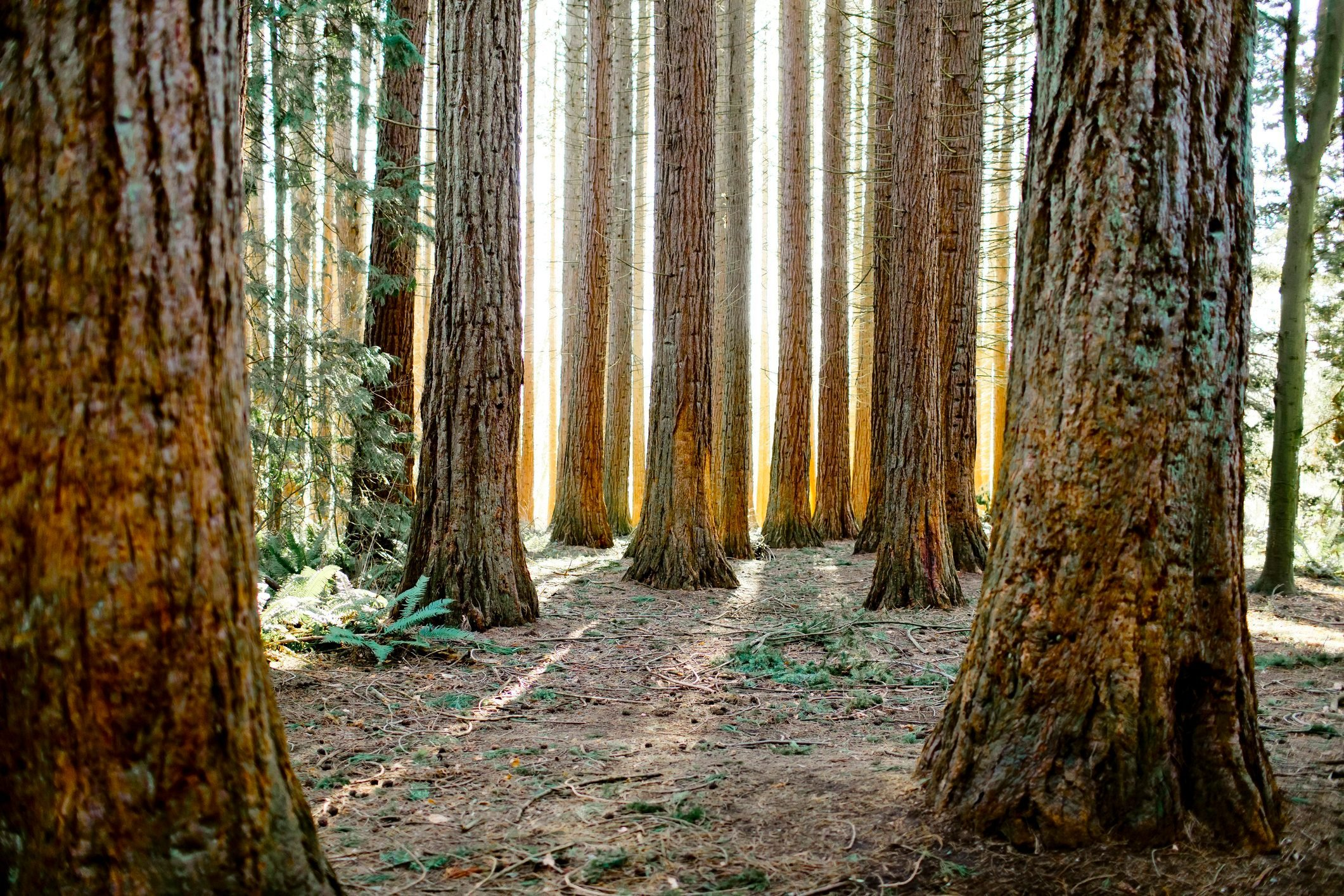 Backlit Redwood forest, (Sequoioideae) coniferous tree