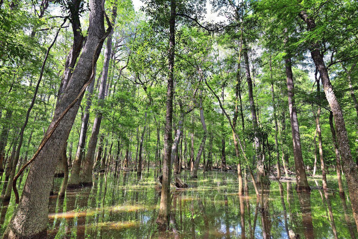 Cypress trees in Congaree National Park, South Carolina