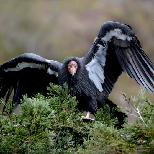 Endangered California Condors Spotted at Sequoia National Park