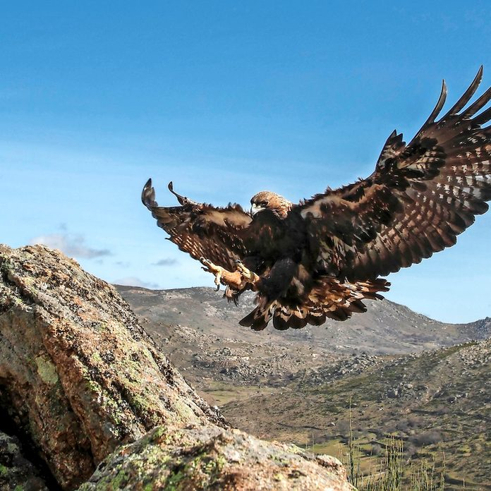 A golden eagle swooping in for a landing.