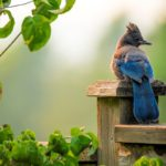 Steller's Jays: Learn How to Attract These Clever Black and Blue Birds