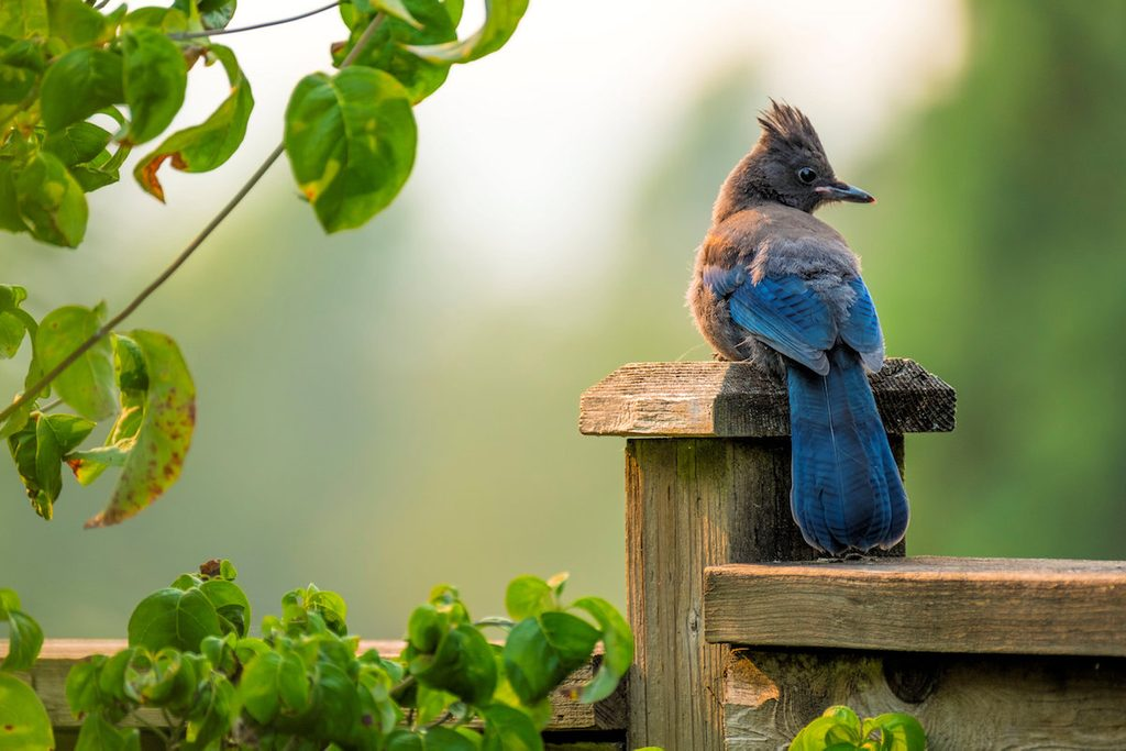 A Steller's jay sits on a fence