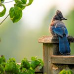 Meet the Steller's Jay: Clever Black and Blue Birds