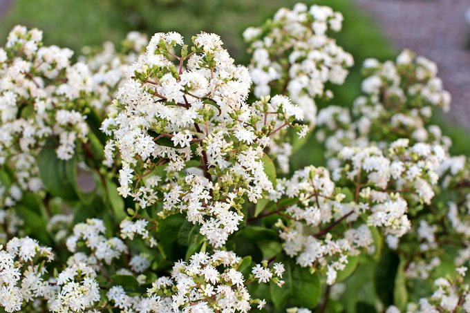 Tianshan seven-son flowering bush