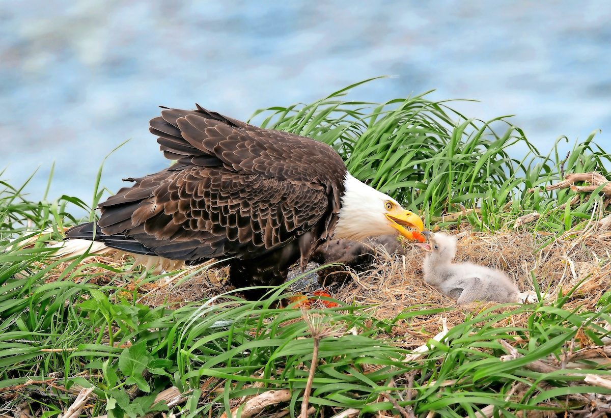A bald eagle feeds its young at the nest.