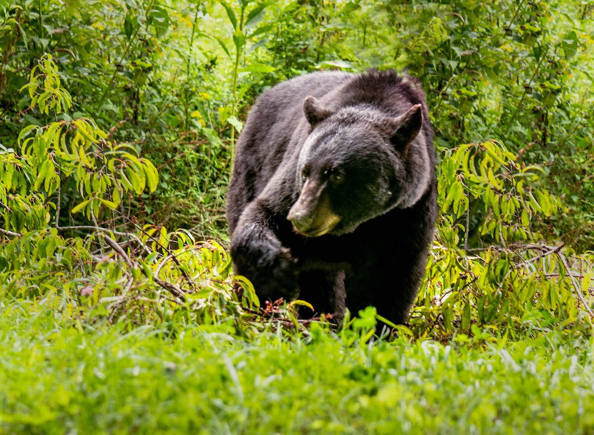 Black bear at Cades Cove