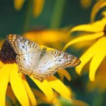 Plant a Meadow: Grow Wildflowers for Butterflies