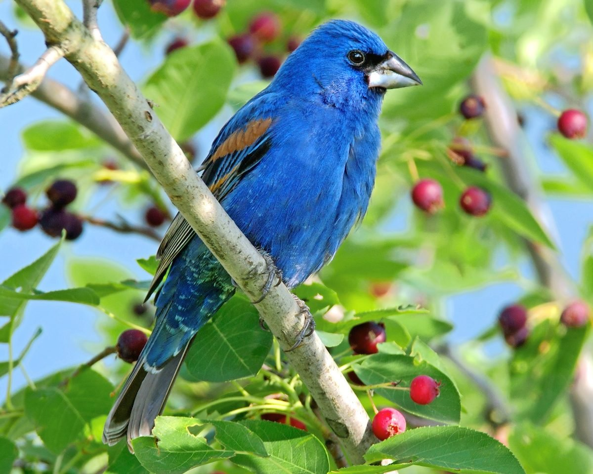 Blue grosbeak sitting in berry tree.