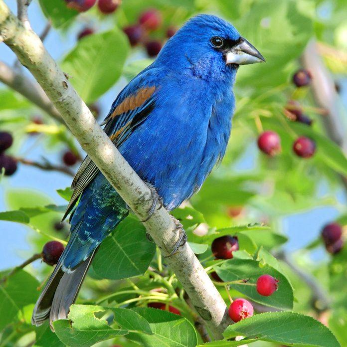 Blue grosbeak sitting in berry tree.