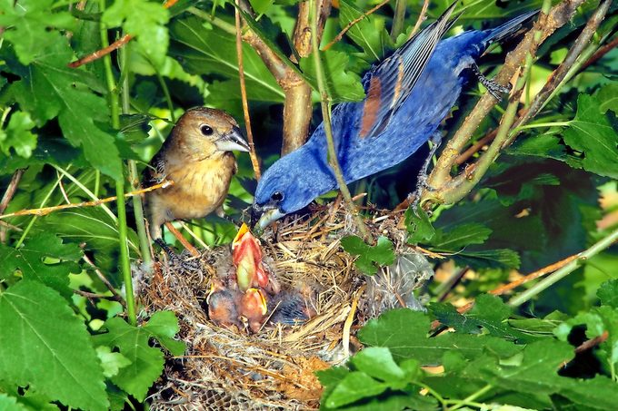 A pair of blue grosbeaks sit near their nest as the male feeds their young.