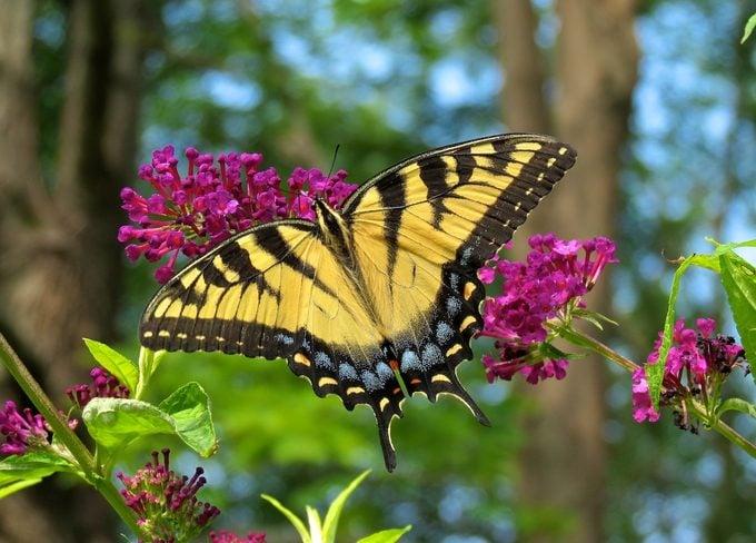 Eastern tiger swallowtail on butterfly bush