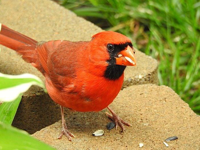 cardinal eating sunflower seed