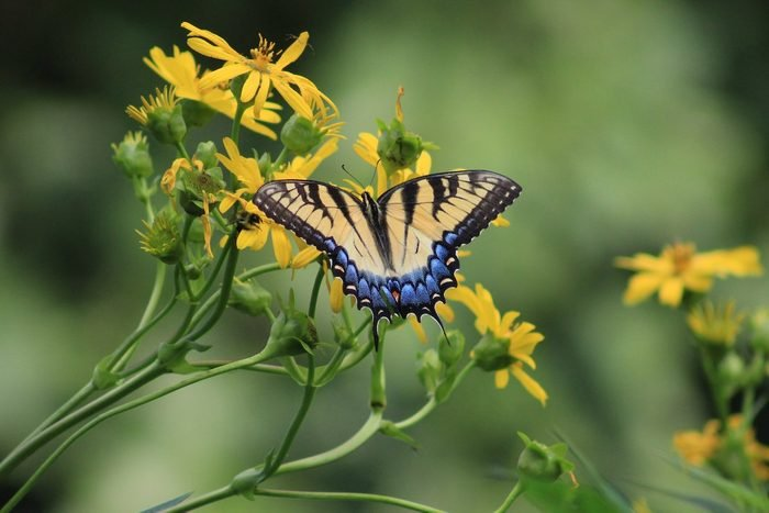 eastern tiger swallowtail on cup plant