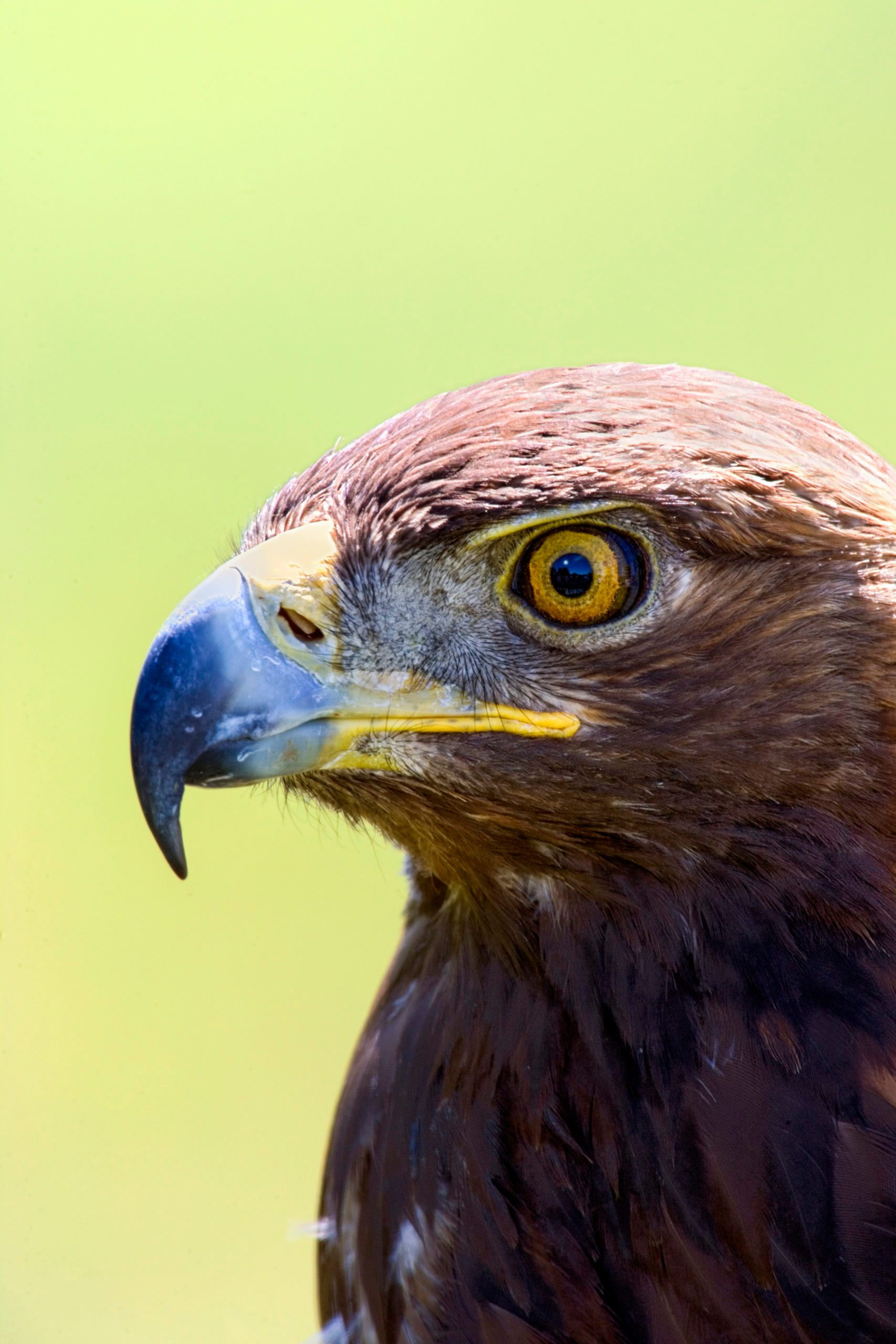 A closeup of a golden eagle.