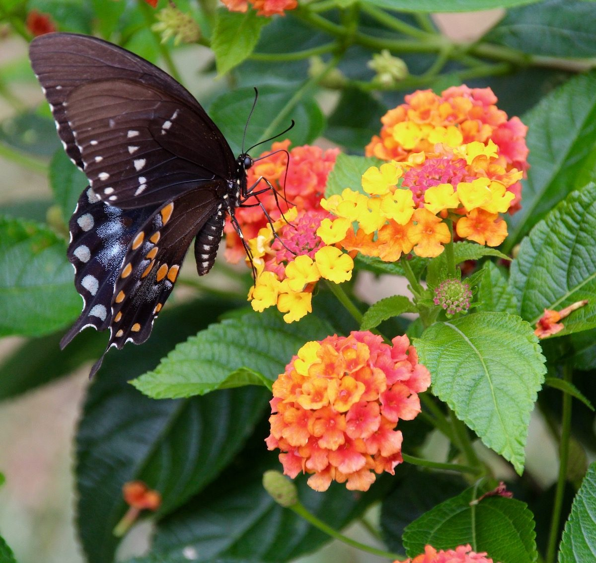 lantana and Eastern black swallowtail butterfly