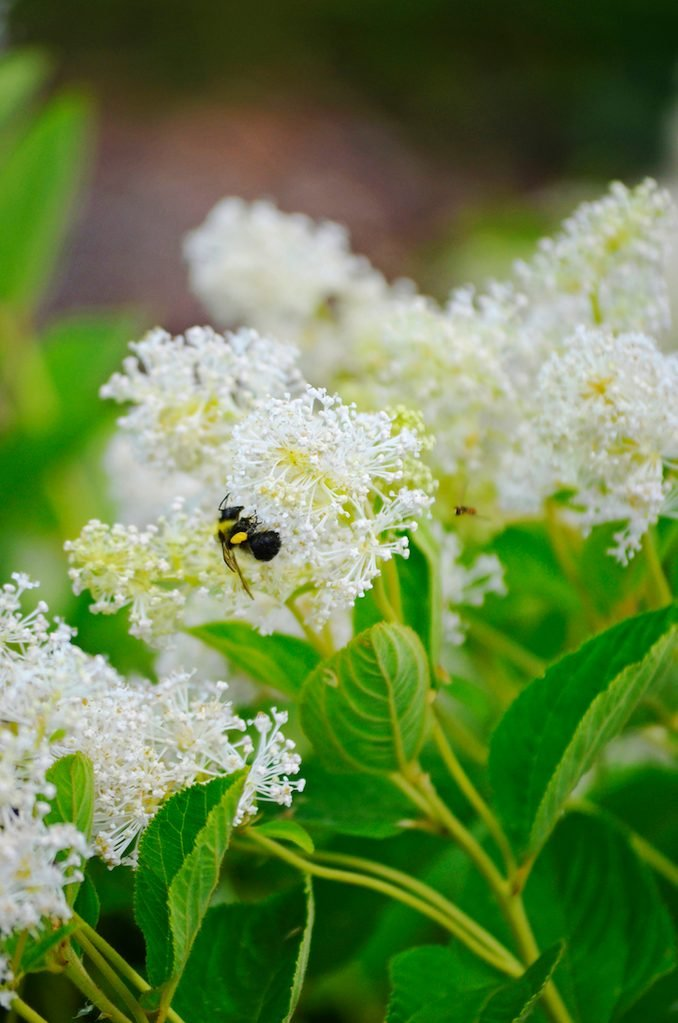 New Jersey tea plant with a bee on a bloom.