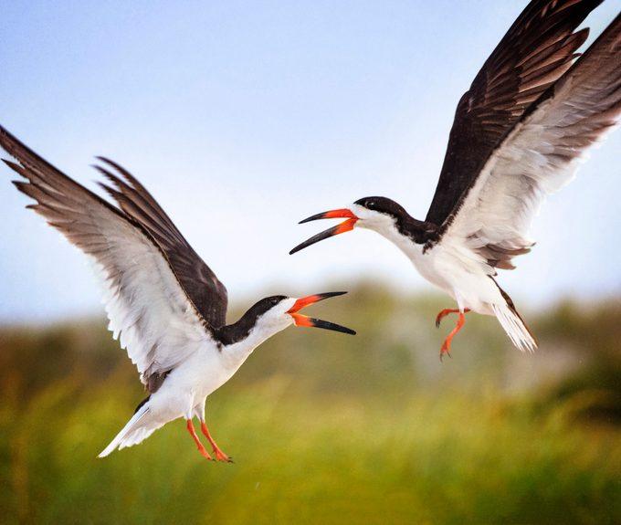 A pair of black skimmers in flight.