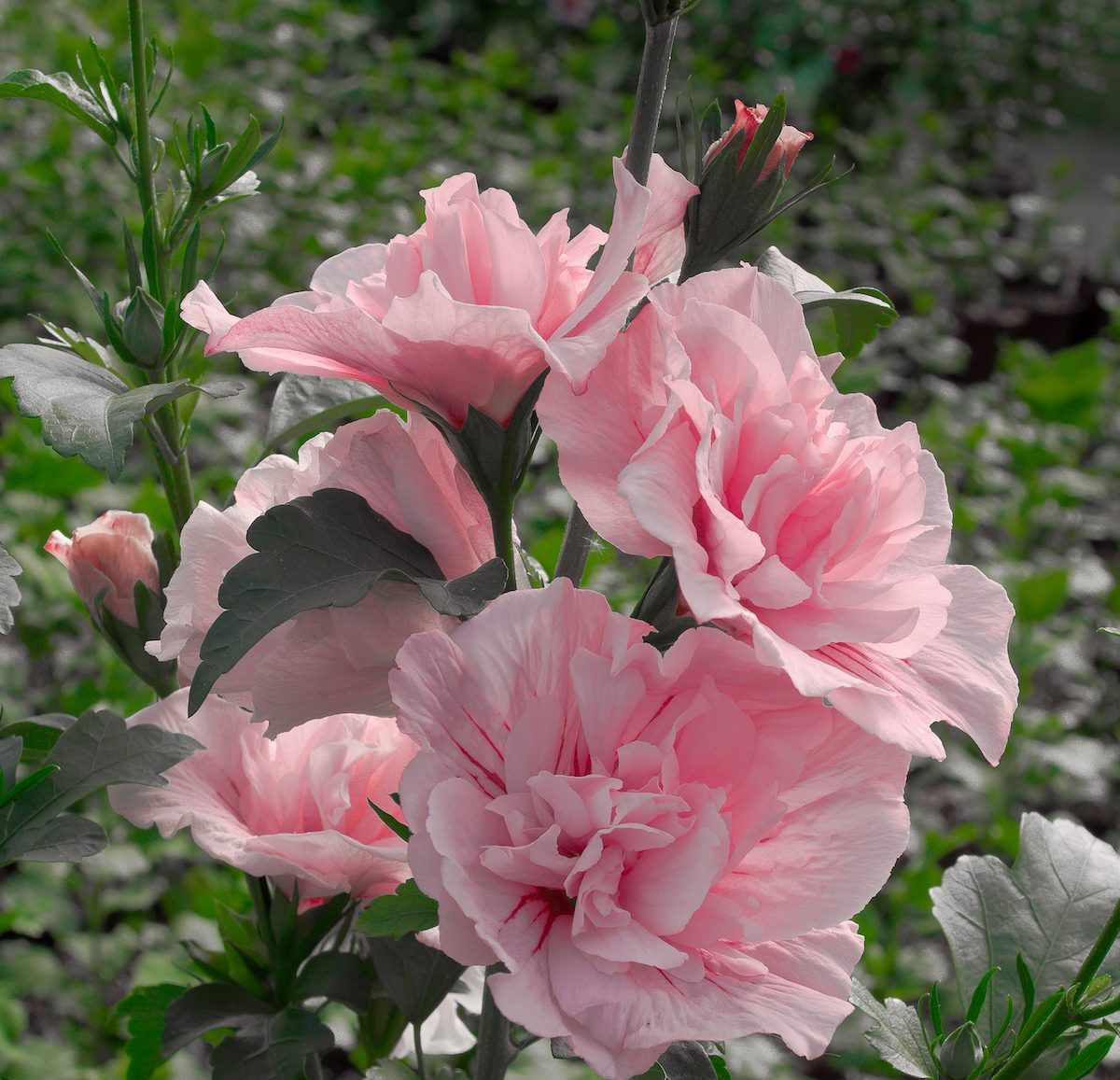 A cluster of Pink Chiffon rose of Sharon blooms.