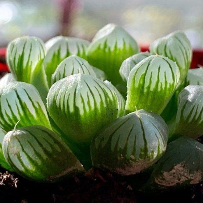 Raindrop Succulent