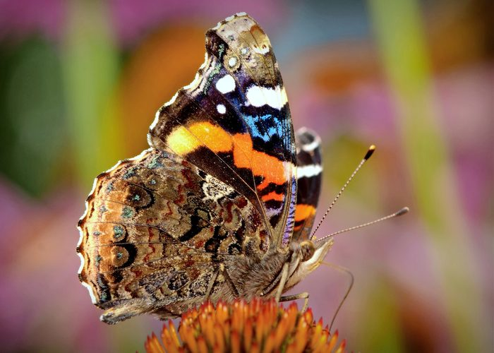 red admiral butterfly sitting on a flower.