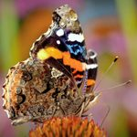 Meet the Red Admiral Butterfly and Learn How to Attract Them