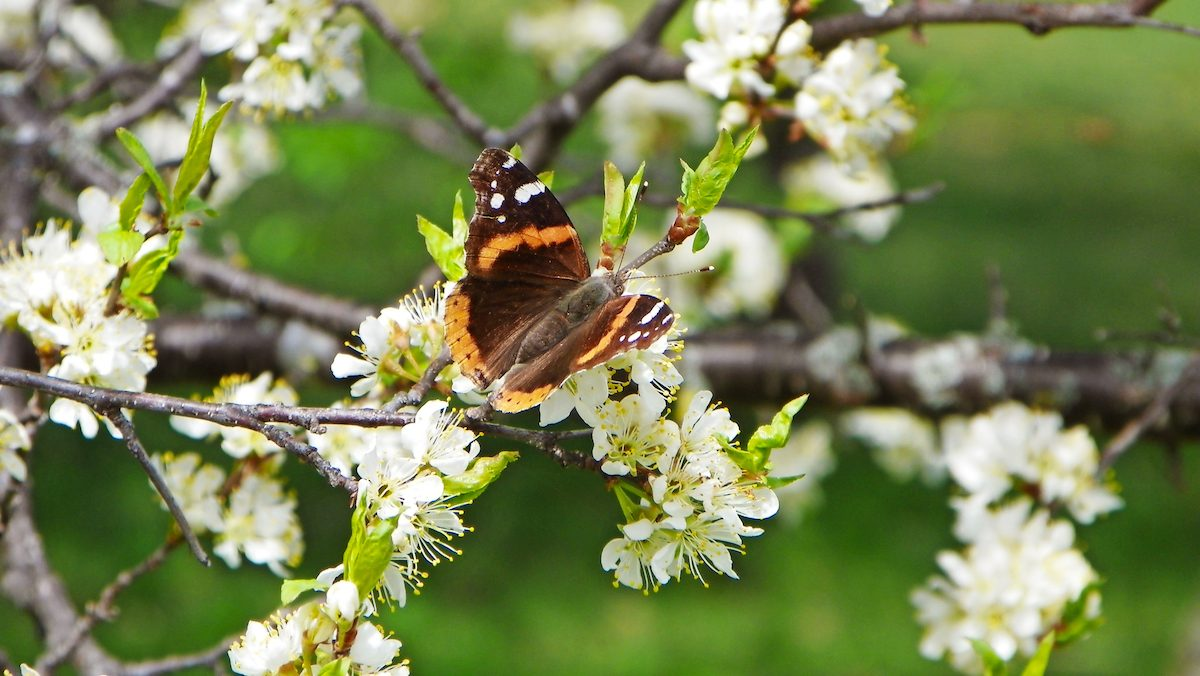 A red admiral butterfly sits on a flowering plum tree branch.
