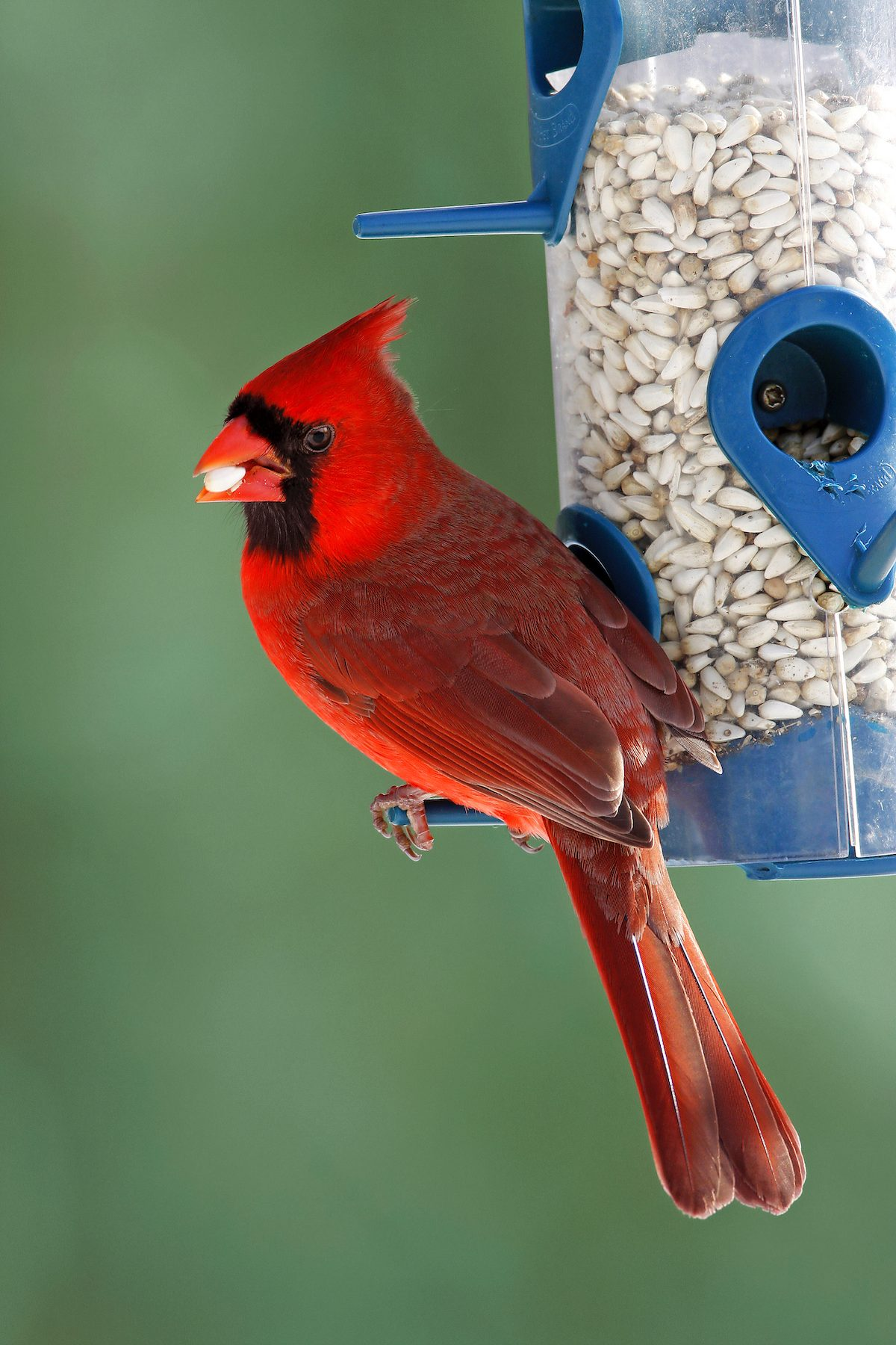 cardinal eating safflower seed