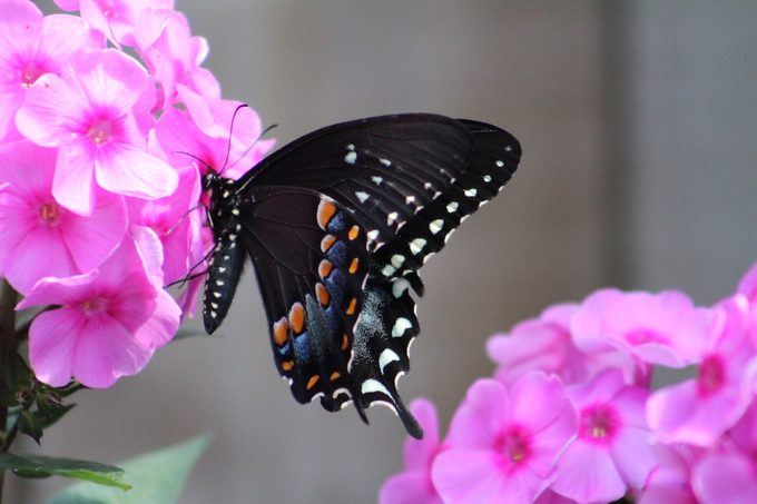 A spicebush swallowtail butterfly lands on a phlox flower.