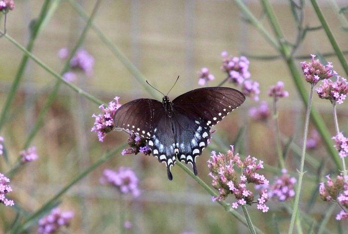 Spicebush swallowtail on Verbena