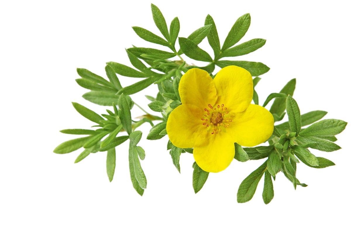 yellow potentilla flower