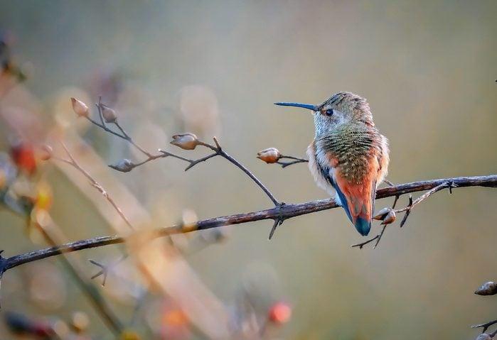An Allen's hummingbird perches peacefully on a branch.