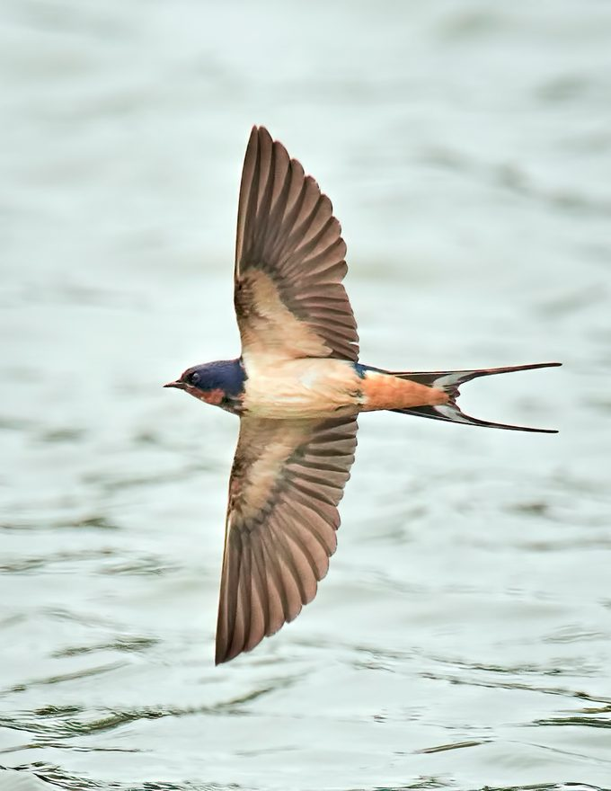 Barn swallow flying over water.
