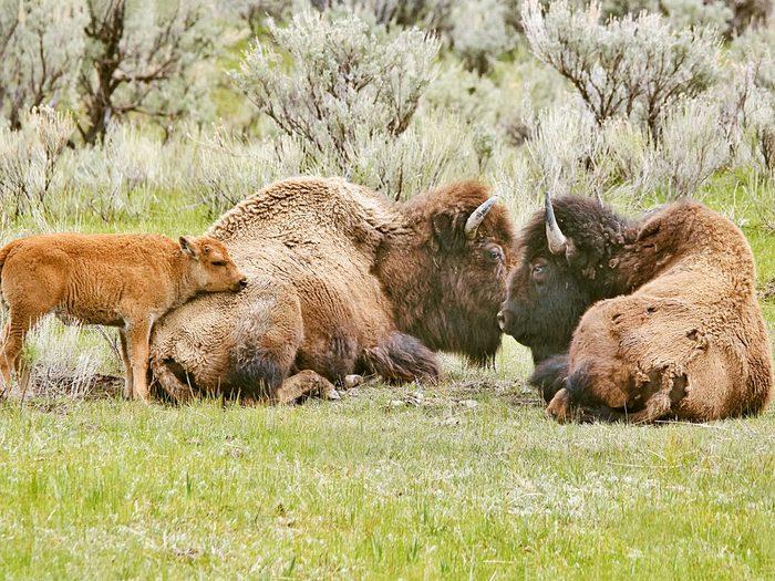 Newborn bison calves