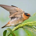 Birds of Summer: Identify 8 Types of Swallow Birds