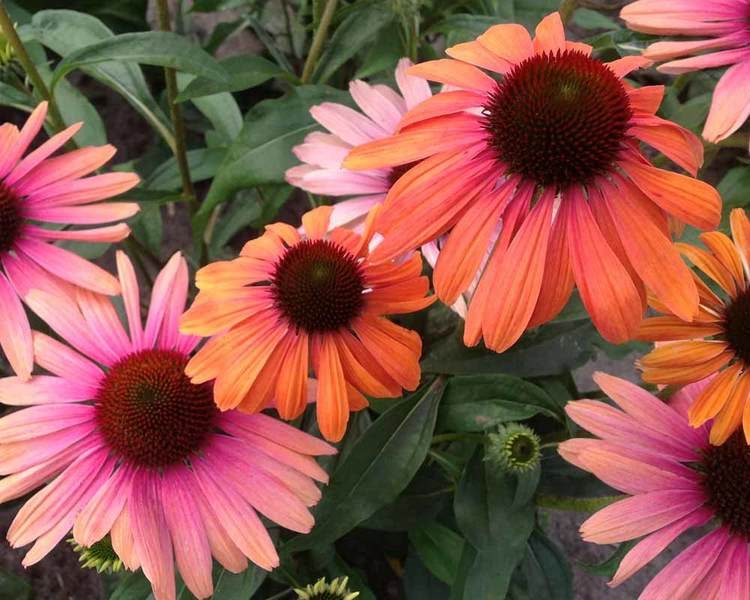Butterfly Rainbow Marcella coneflower