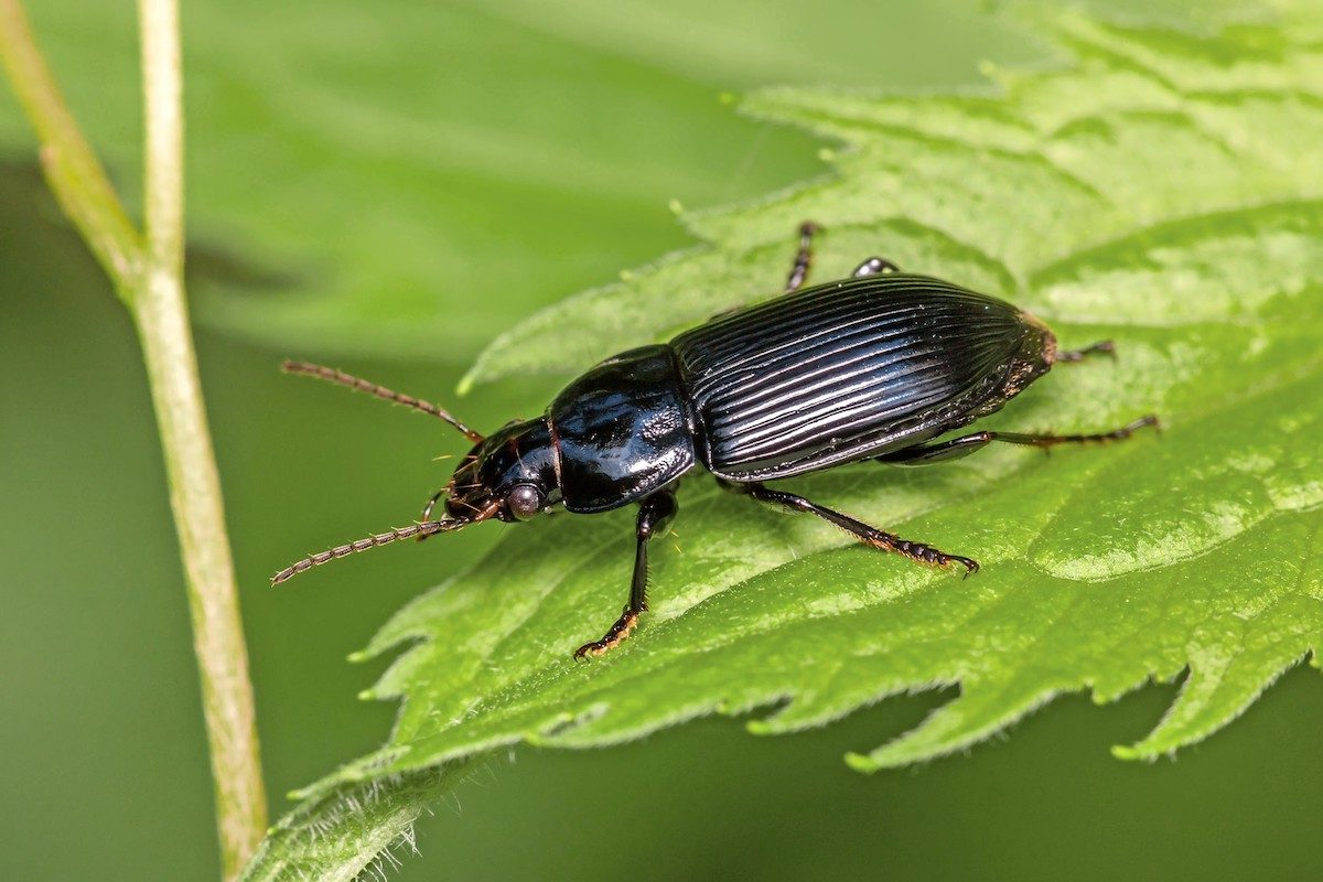 Ground beetle on leaf