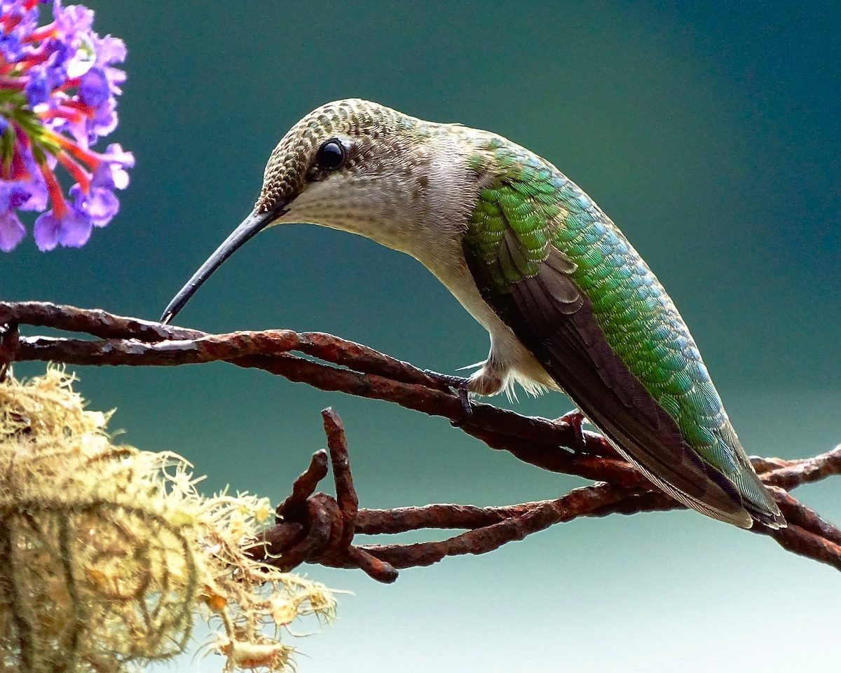 A ruby-throated hummingbird peeks at the photographer as it sits on a piece of barbed wire.