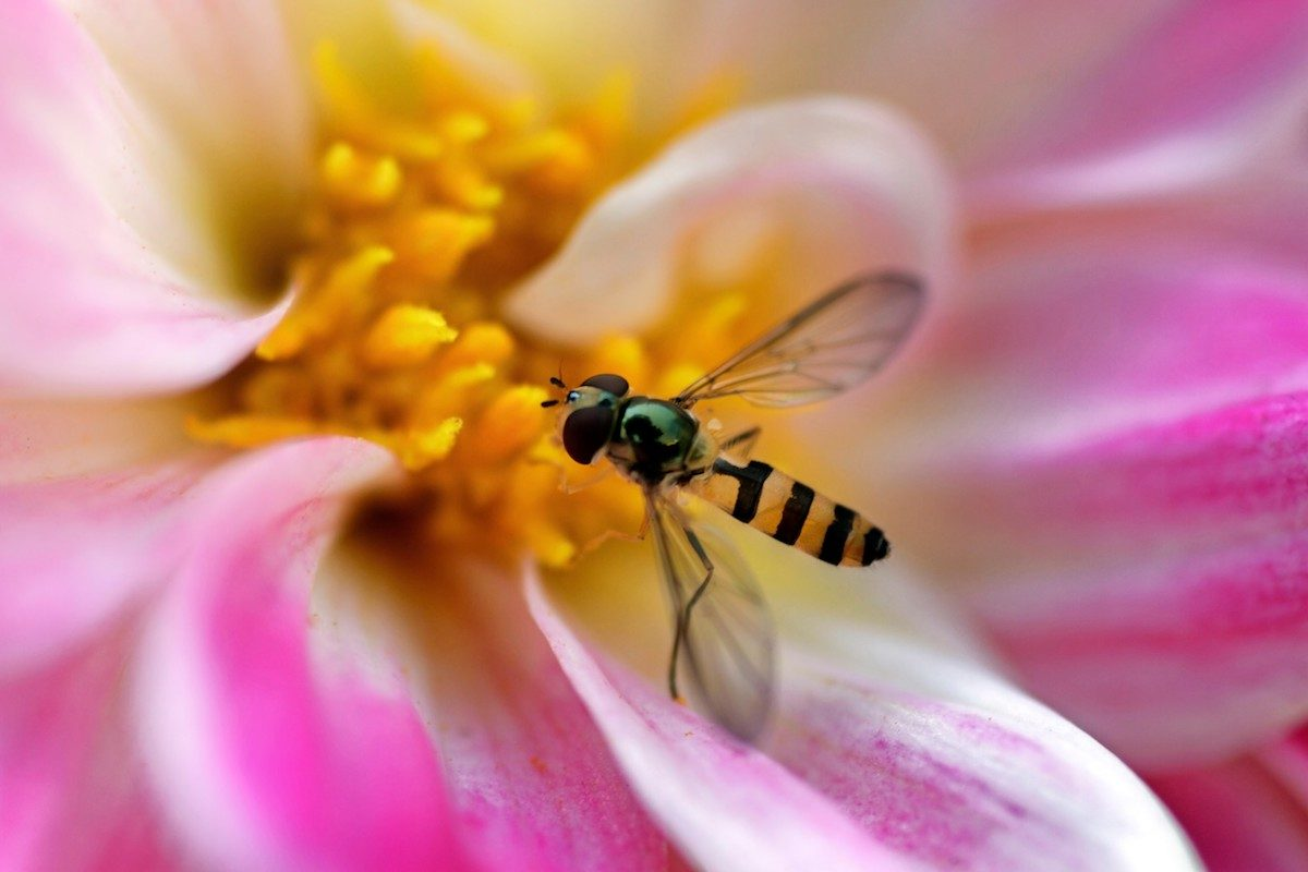 Syrphid fly sits on flower