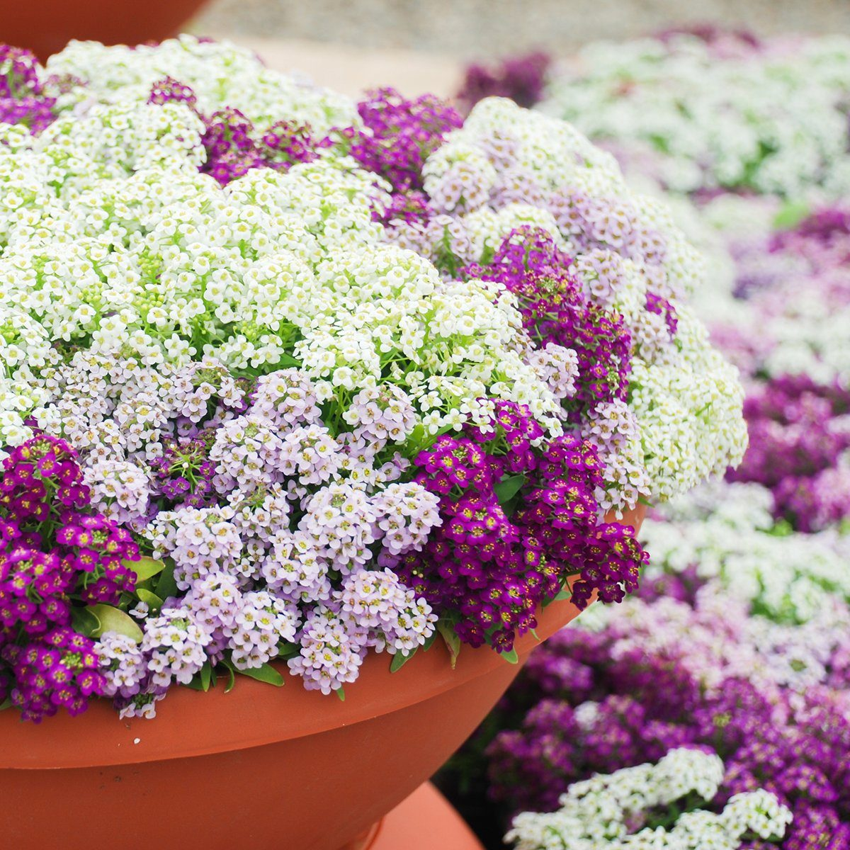 Alyssum flowers. Alyssum in sweet colors. Alyssum in a red brown pot on wood table, in a dense grounding in a greenhouse.