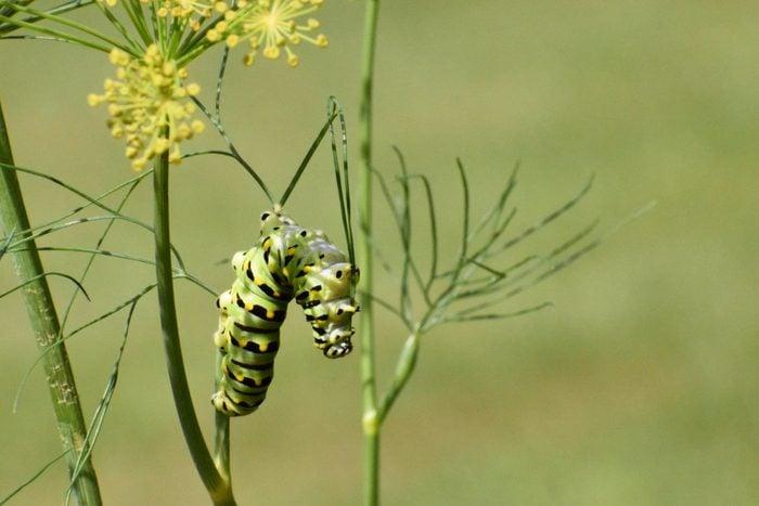 Black swallowtail caterpillar on dill.