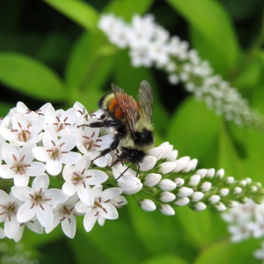 7 Fascinating Bumblebee Facts You Should Know