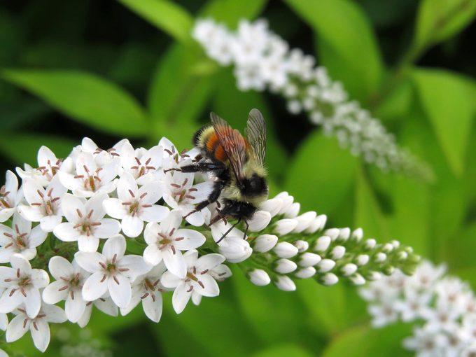 bumblebee on gooseneck loosestrife flower