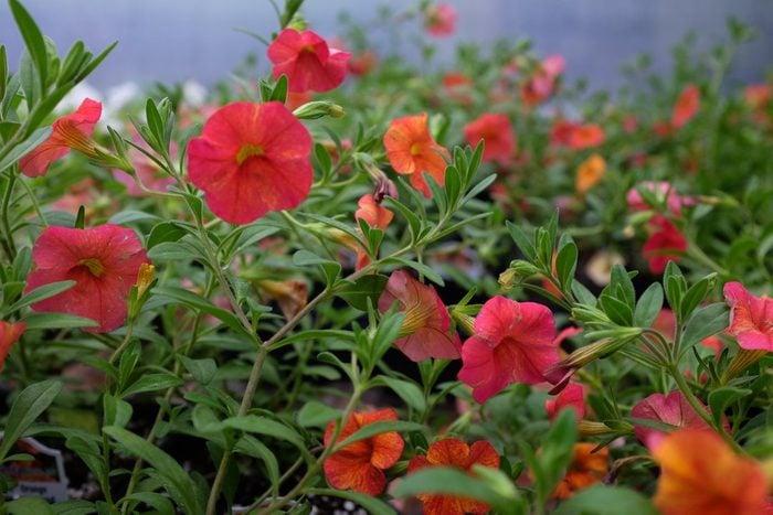 Calibrachoa 'Callie Orange Sunrise