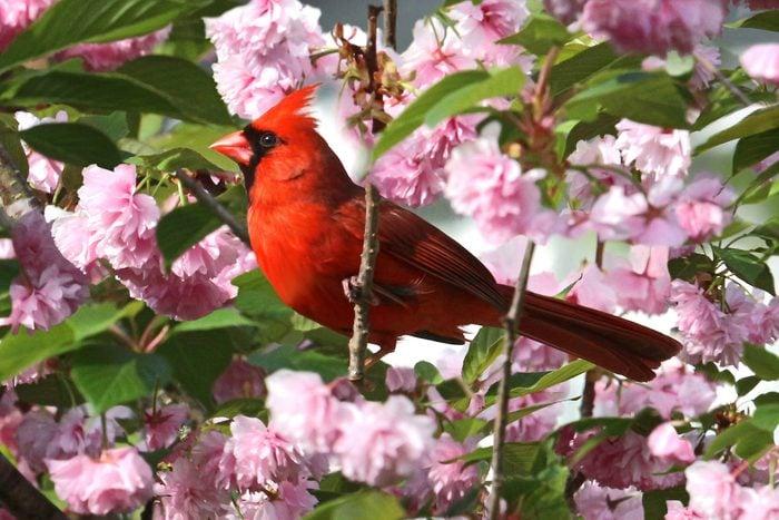 cardinal in spring flowers