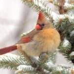 15 Simply Stunning Photos of Northern Cardinals
