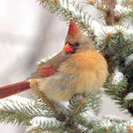 15 Simply Stunning Photos of Northern Cardinals