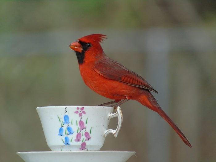 cardinal on teacup feeder